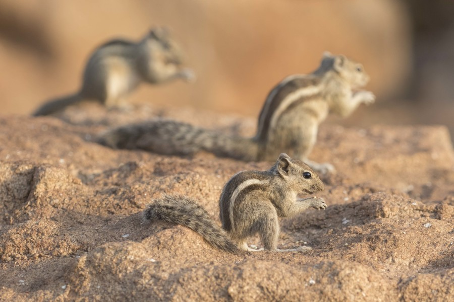 palm squirrel Rahul Alvares