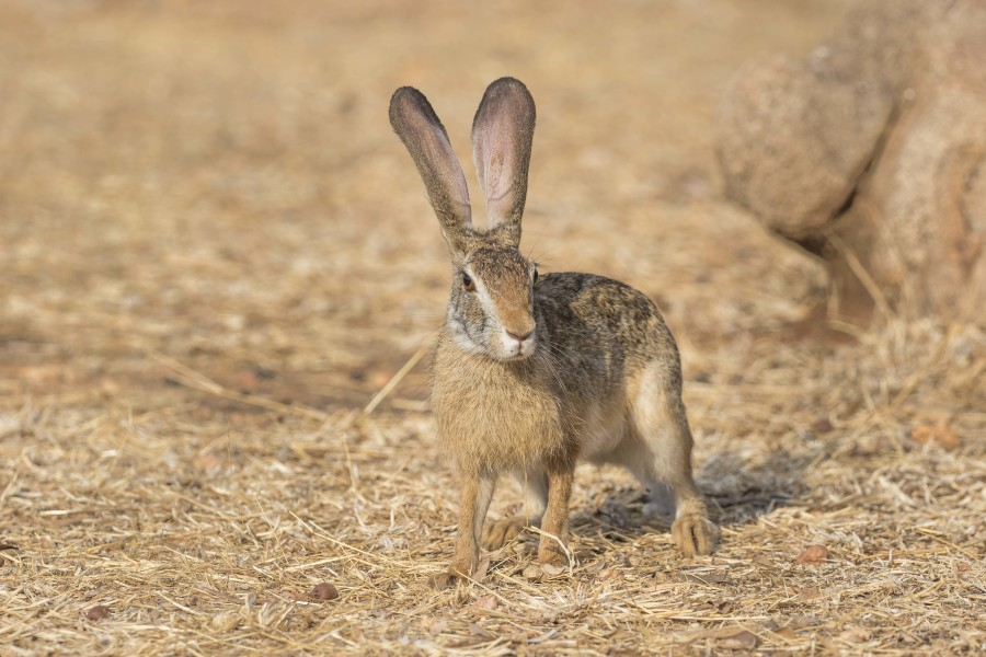 Black naped hare Rahul Alvares