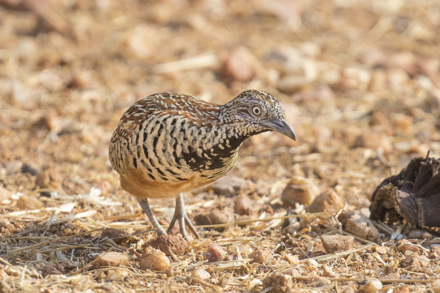 Barred buttonquail Rahul Alvares