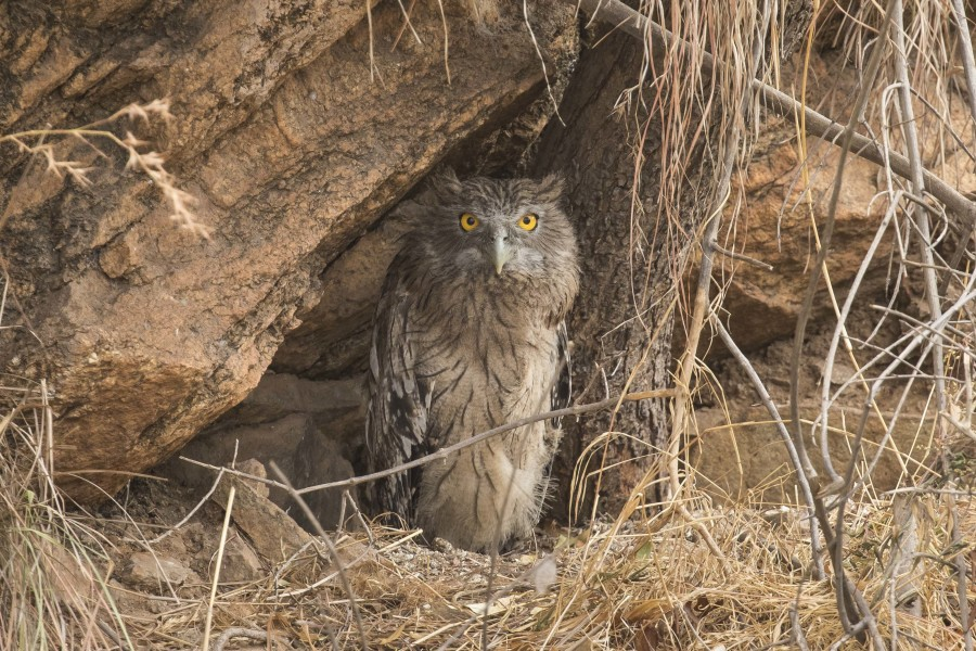 Brown fish owl Rahul Alvares