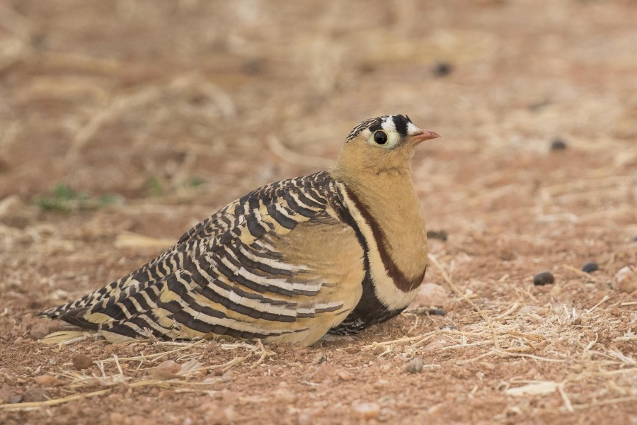 Painted sandgrouse Rahul Alvares